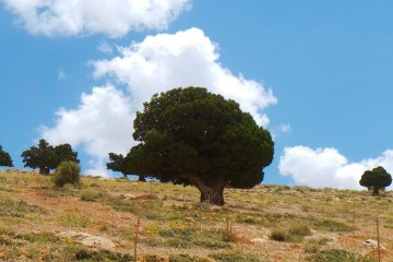 juniperus lezzeb lebanon