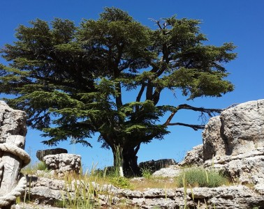 Tannourine Cedars Forest