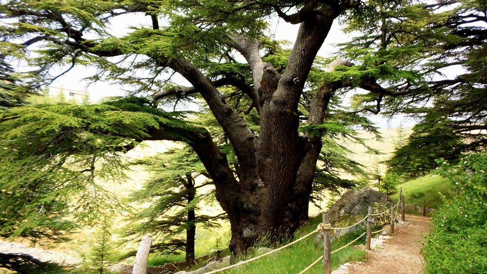Cedars Of Lebanon ~ Epic of gilgamesh and the cedars lebanon